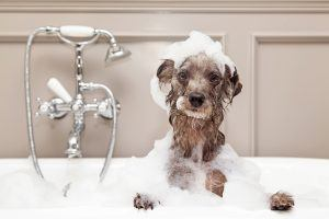 A cute little terrier breed dog taking a bubble bath with his paws up on the rim of the tub